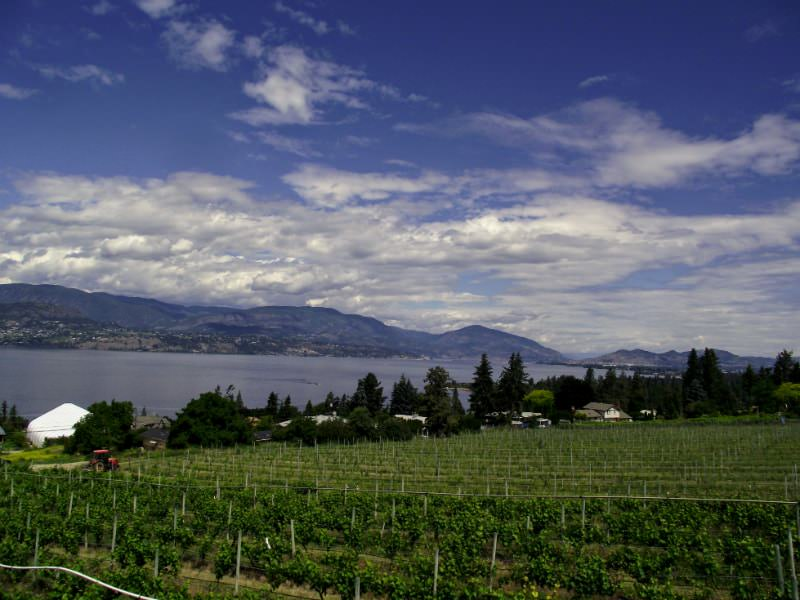 Vineyard in Kelowna, British Columbia.